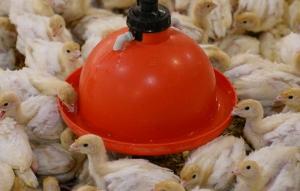 امکانات مورد نیاز برای جوجه های تازه سر از تخم به در آورده بوقلمون