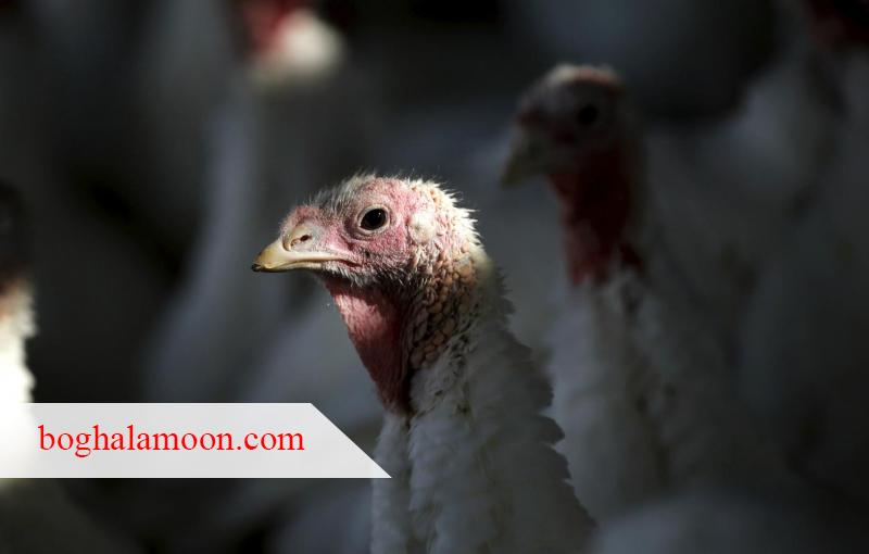 کنترل جوندگان در مزارع پرورش بوقلمون