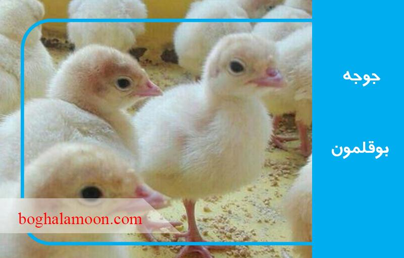 مکانات مورد نیاز برای جوجه های تازه سر از تخم به در آورده بوقلمون
