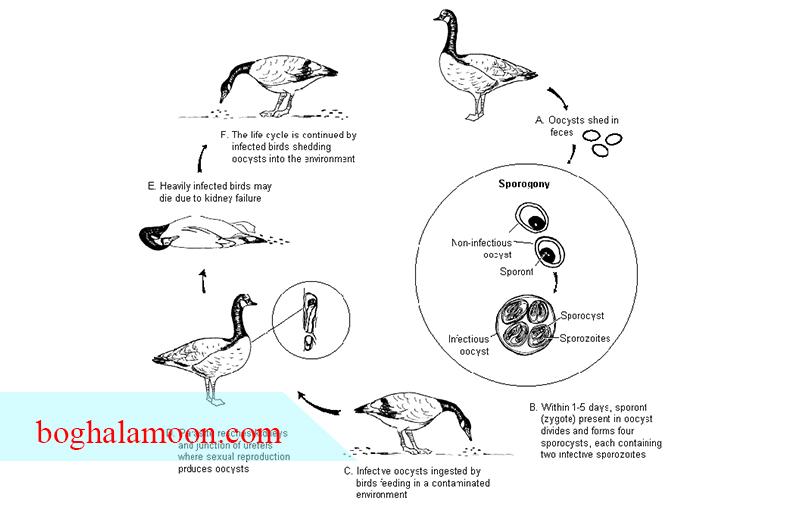 بیماری مایکوتوکسیکوز غاز