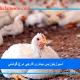 آسپرژیلوزیس بیماری قارچی مرغ گوشتی.jpg