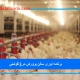 برنامه نوری سالن پرورش مرغ گوشتی