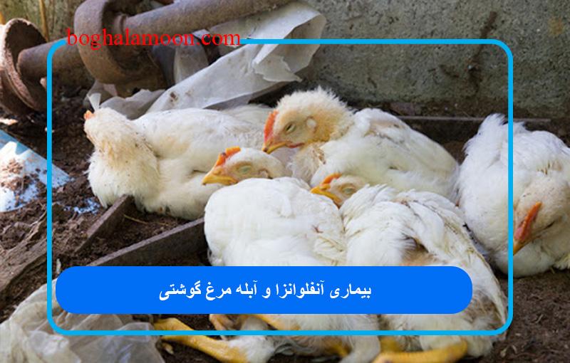 بیماری آنفلوانزا و آبله مرغ گوشتی