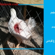 تاثیر نمک طعام در کانیبالیسم و خودخوری مرغ گوشتی