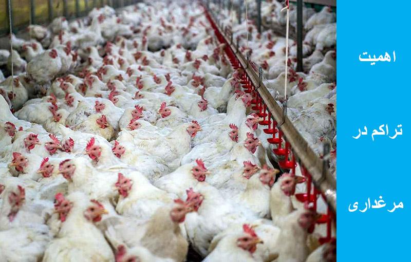 تراکم مرغ گوشتی