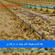 جدا کردن جوجه های بیمار در مرغداری