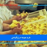 خرید جوجه مرغ گوشتی