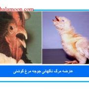 عارضه مرگ ناگهانی جوجه مرغ گوشتی