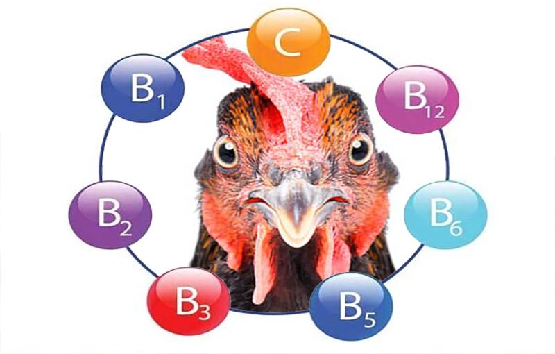 معرفی ویتامین های مورد نیاز در پرورش مرغ گوشتی1