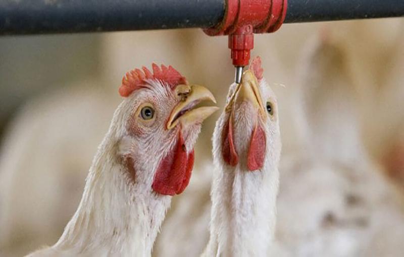 میزان آب مصرفی و استانداردهای آن در مرغداری ها