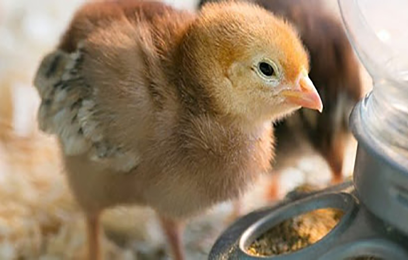 نکات پرورش مرغ گوشتی