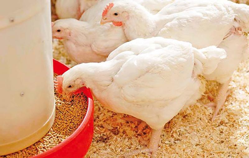 جیره مرغ گوشتی