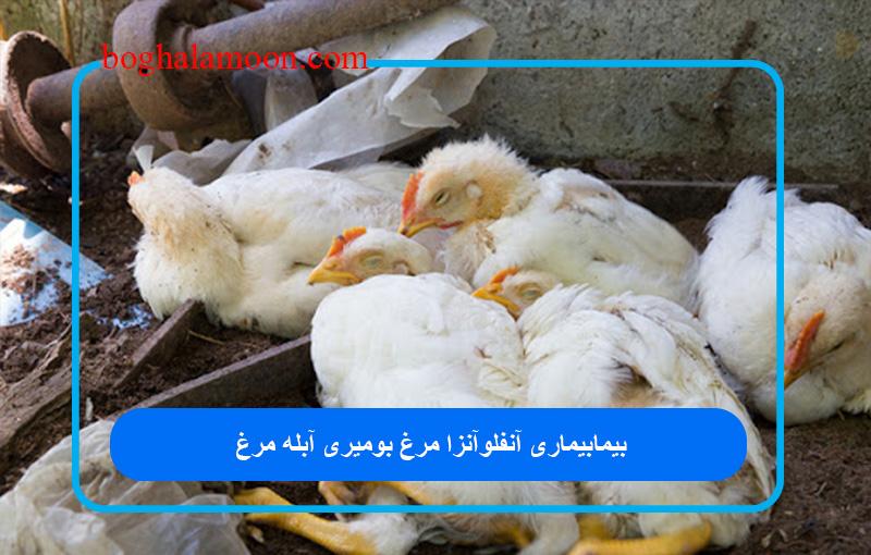 بیماری آنفلوآنزا مرغ بومی
