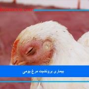 بیماری برونشیت مرغ بومی