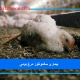 بیماری سالمونلوز مرغ بومی