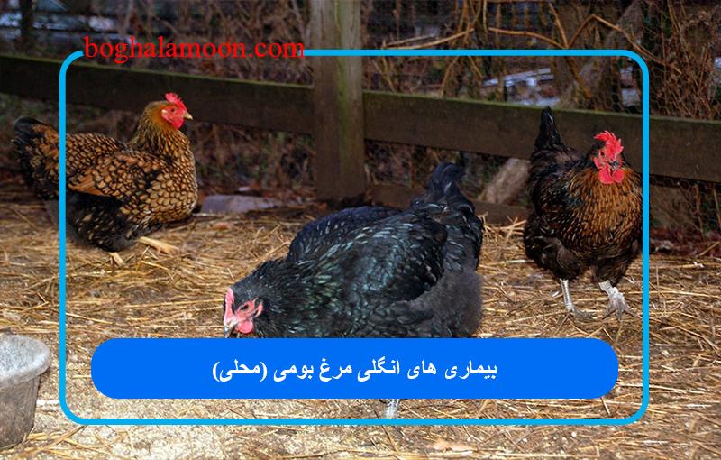 بیماری های انگلی مرغ بومی (محلی)