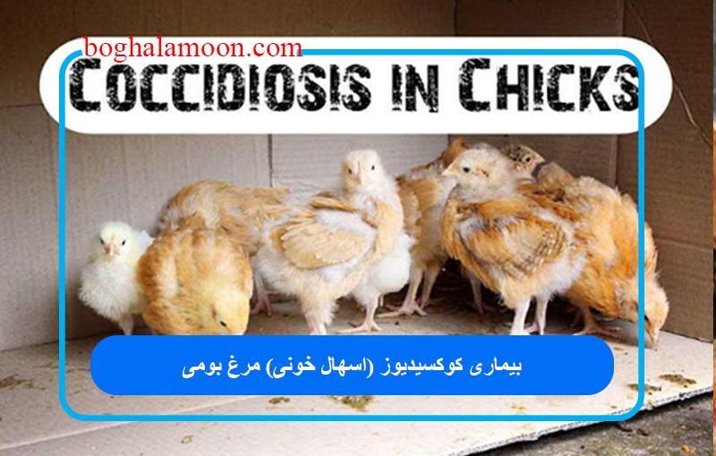 بیماری کوکسیدیوز (اسهال خونی) مرغ بومی