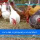 تاریخچه پرورش مرغ بومی(محلی) در جهان و ایران