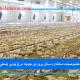 خصوصیات استاندارد سالن پرورش جوجه مرغ بومی (محلی)