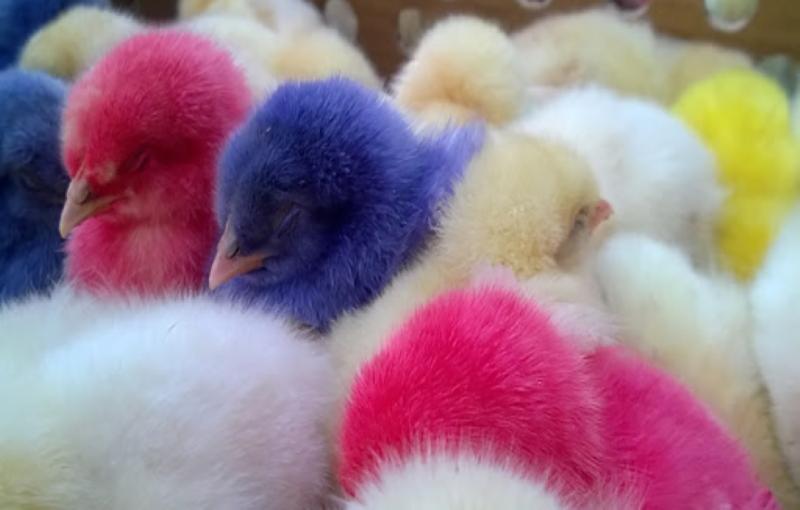 خودخوری مرغ بومی(کانیبالیسم)،ناهنجاری های فیزیکی2