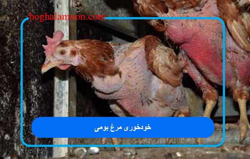 خودخوری مرغ بومی
