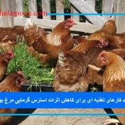 راه کارهای تغذیه ای برای کاهش اثرات استرس گرمایی مرغ بومی