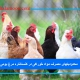 محدودیتهای مصرف مواد خوراکی در کنستانتره مرغ بومی