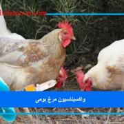 واکسیناسیون مرغ بومی