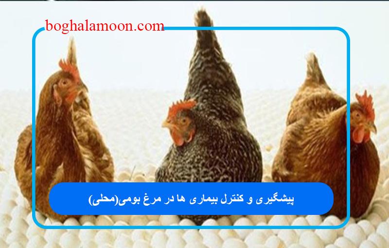 پیشگیری و کنترل بیماری ها در مرغ بومی