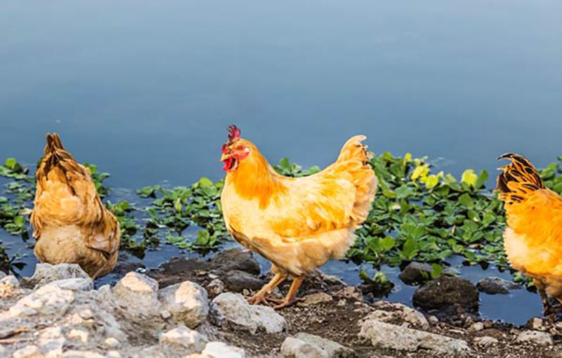 پیشگیری و کنترل بیماری ها در مرغ بومی(محلی)2.jpg