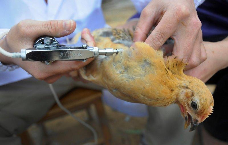 واکسن مرغ محلی