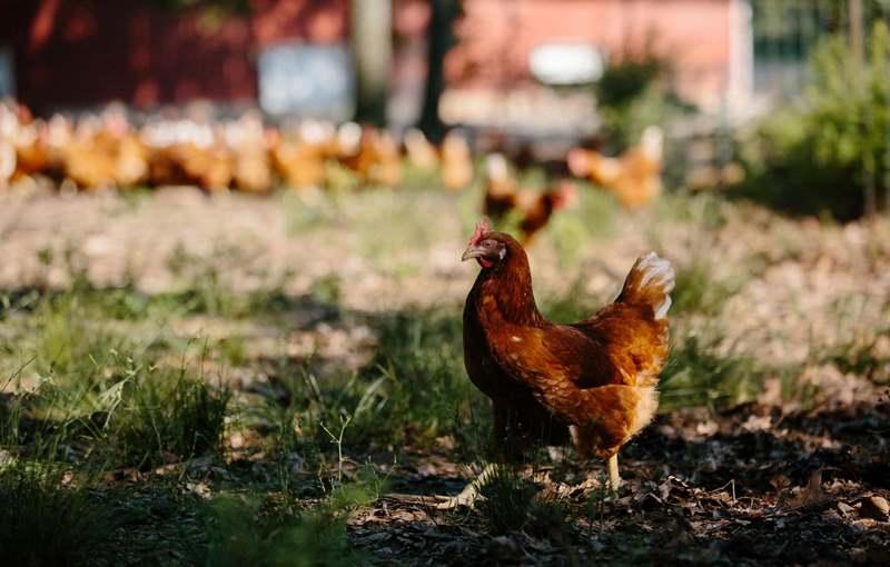 مرغ محلی