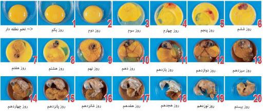 مراحل تبدیل نطفه به جوجه،جوجه کشی مرغ بومی (محلی)