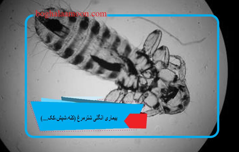 بیماری انگلی شترمرغ(کنه،شپش،کک....)