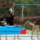 بیماری های جوجه شترمرغ(کیسه زرده،...) التهاب بند ناف شترمرغ