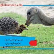 بیماری های قارچی شترمرغ (علائم،پیشگیری،درمان)