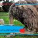 بیماری کندن پرها (پرخواری) شترمرغ