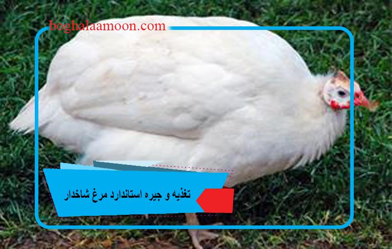 تغذیه و جیره استاندارد مرغ شاخدار.jpg