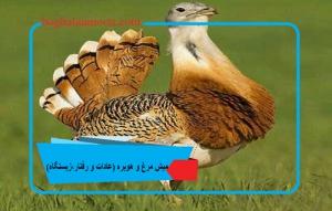 میش مرغ و هوبره (عادات و رفتار،زیستگاه)