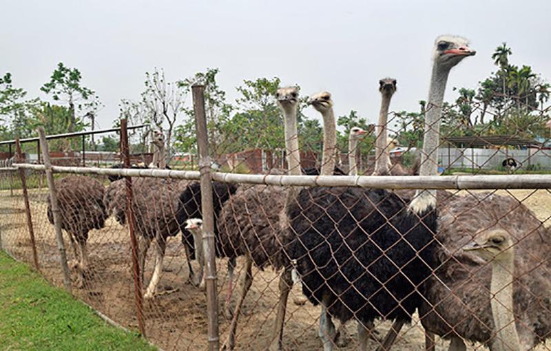 پرورش و نگهداری جوجه شترمرغ