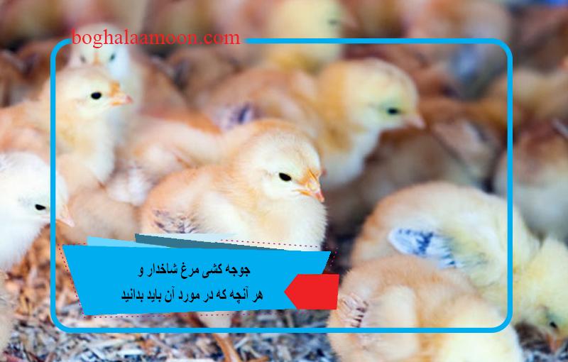 جوجه کشی مرغ شاخدار و هر آنچه که در مورد آن باید بدانید.jpg