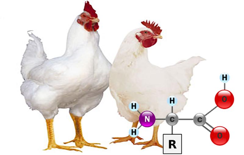 نقش پروتئین ها و آمینواسیدها در تغذیه طیور