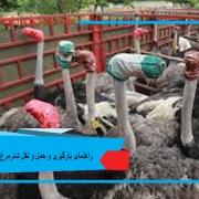 بارگیری و حمل و نقل شترمرغ ها
