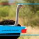 زیرگونه ها و انواع نژادهای شترمرغ