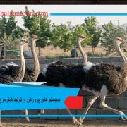 سیستم های پرورش و تولید شترمرغ