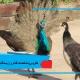 طاووس(مشخصات ظاهری،زیستگاه)