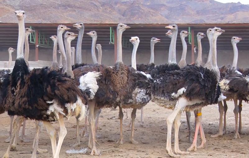 طراحی و ساخت جایگاه های پرورش شتر مرغ