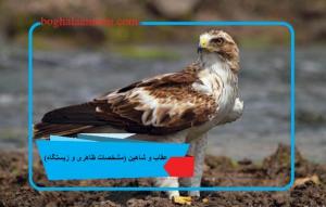 عقاب و شاهین (مشخصات ظاهری و زیستگاه)