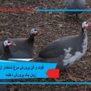 فوت و فن پرورش مرغ شاخدار از زبان یک پرورش دهنده2.jpg
