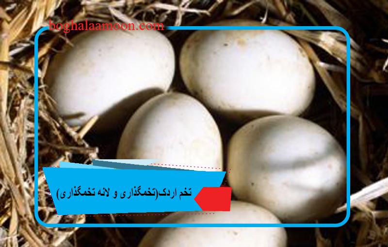 تخم اردک(تخمگذاری و لانه تخمگذاری)